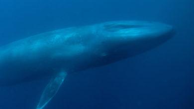 Photo of Una Balena blu, e io che credevo che Moby Dick avesse cambiato colore.